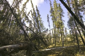 Fallen trees after the permafrost melted in Fairbanks, Alaska in 2004 (National Geographic)